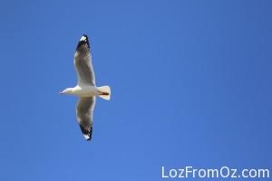 Custom seagull