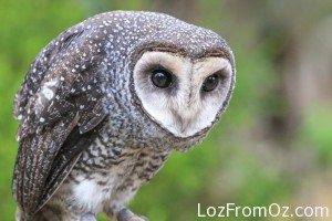 Omen the Sooty Owl