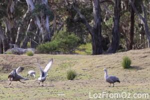 Cape Baron Geese